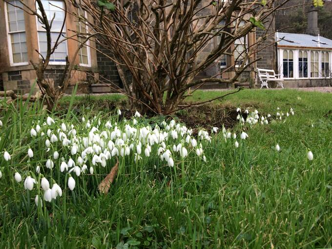 Close up of a clump of snowdrops in a lawn, with a  house in the background.