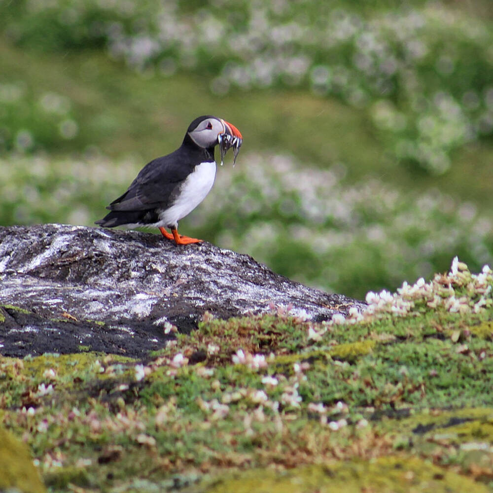 A puffin sitting on a rock on Iona