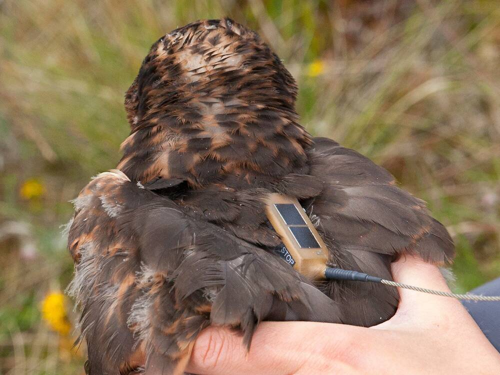 A person is holding a hen harrier bird, showing it's back, which has a satellite tag attached.