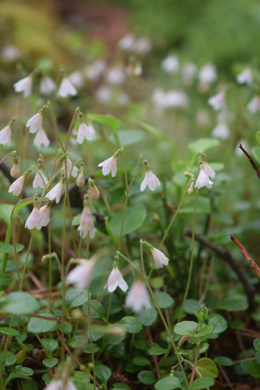 A patch of small white flowering plants, with nodding heads.