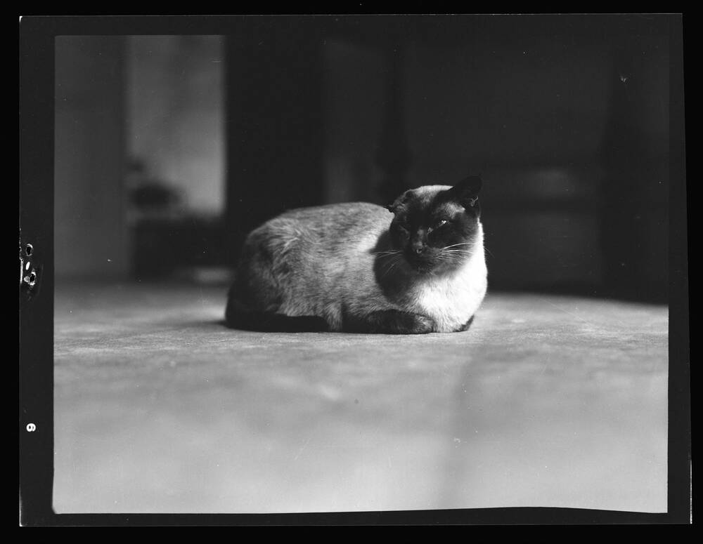 A black and white photograph of a Siamese cat sitting on the floor. He has a dark face, paws and tail and his body is white.