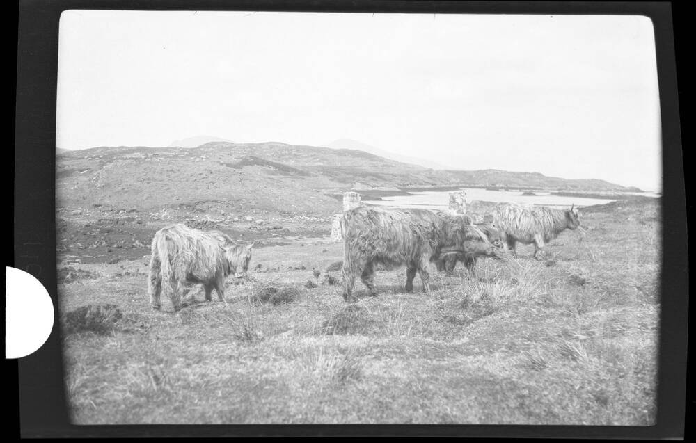 Highland cows grazing on South Uist