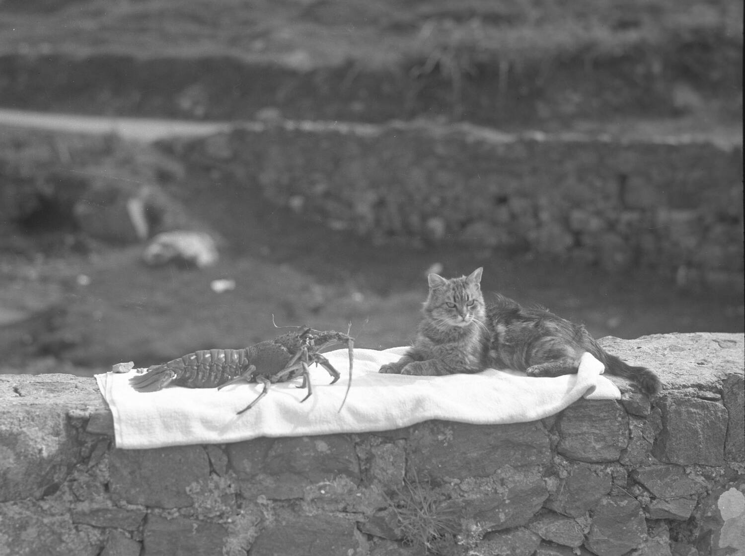 A black and white photograph of a large crayfish and a tabby cat sit on a low stone wall by the shoreline on Barra.