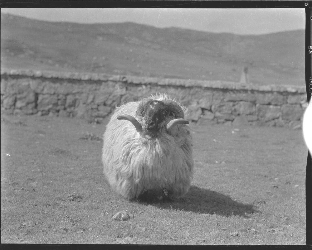 A black and white photograph of a large sheep with long, curved horns. It is standing in a field, with a stone wall and hills in the background.