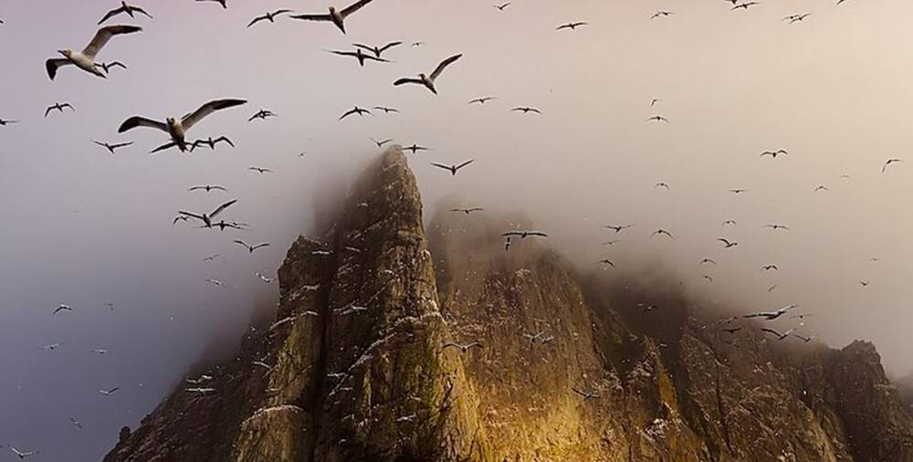 Large numbers of gannets soaring above cloud-covered cliffs on St Kilda.